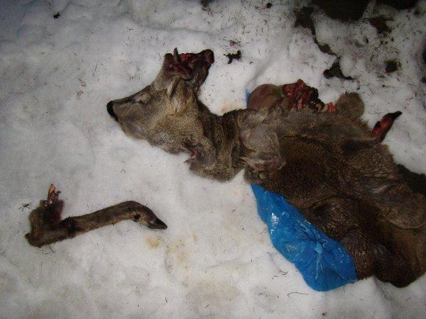 На Закарпатті черговий акт жорстокого браконьєрства (фото)